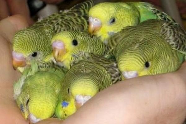 Про попугаев домашних условиях