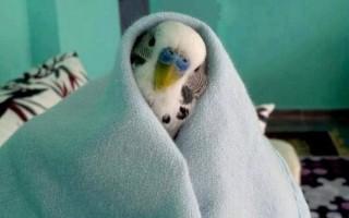 Распространенные недуги и болезни у волнистых попугаев