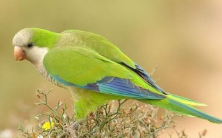 Зеленый попугай монах: общая информация