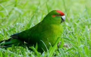 Забавный новозеландский попугай какарик: содержание, разведение, приручение