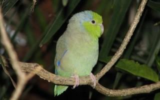 Обыкновенный воробьиный попугай