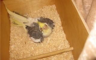 Правильное обустройства гнезда для попугая кореллы