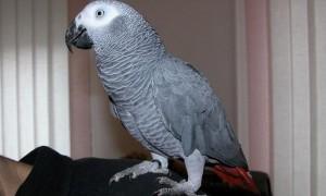 Попугай жако и его одомашнивание
