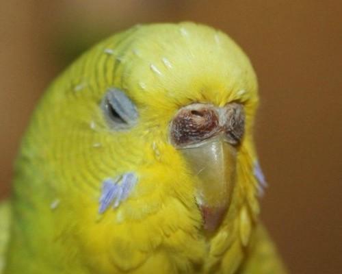Изменение внешнего вида восковицы у волнистого попугая во время заболеваний