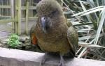 Кеа попугай и среда его обитания