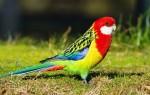 Попугай розелла: его содержание и уход