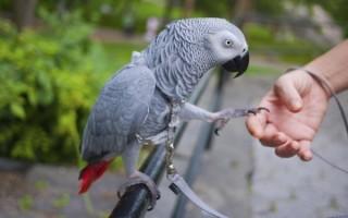 Зачем нужно приобретать шлейку попугаю