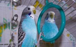 Нужно ли зеркало попугаю