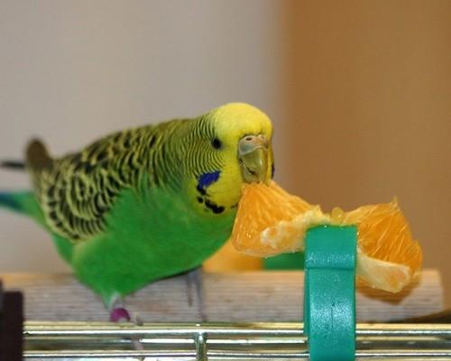 Что из фруктов можно давать кушать волнистым попугаям