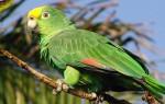 Попугай амазон и его виды в дикой природе