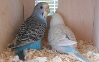 Подходящее гнездо для ваших волнистых попугаев