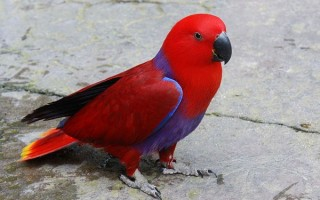 Описание благородных попугаев эклектус