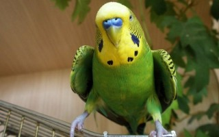 Обычное поведение и повадки волнистых попугаев