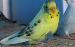 Как определить что самка волнистого попугая беременна