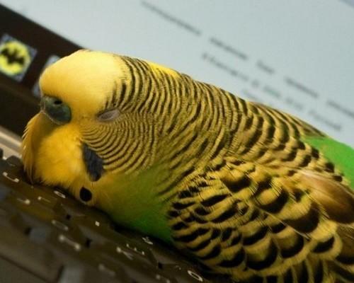 Как и сколько обычно спят волнистые попугаи
