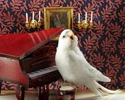 Какое пение у волнистых попугаев