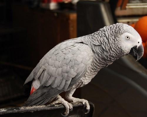 Какой попугай самый умный в мире?