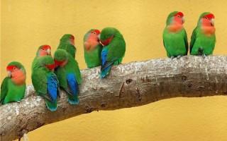 Сколько лет обычно живут попугаи неразлучники и как продлить срок их жизни