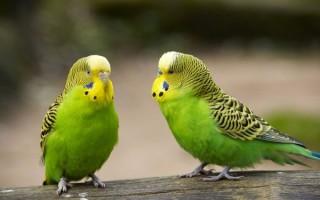 Полезно ли слушать чириканье волнистых попугаев