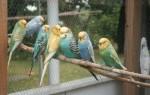 Разновидности забавных волнистых попугайчиков