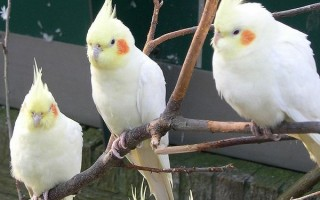 Распространенные имена для попугаев корелла и советы по их правильному подбору