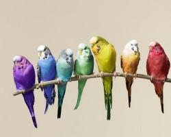 Распространенные окрасы и цвета волнистых попугаев