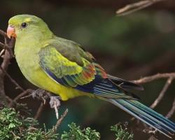 Cреда обитания роскошного горного попугая