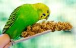 Что обычно ест волнистый попугай