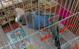 Звуки волнистых попугаев слушать всегда приятно