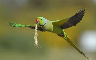 Ожереловый попугай и его подробное описание