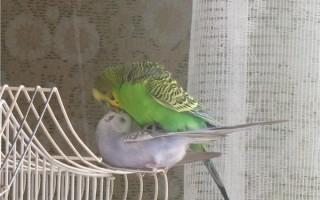 Как происходит спаривание у волнистых попугаев