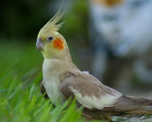 Попугай корелла и его разновидности
