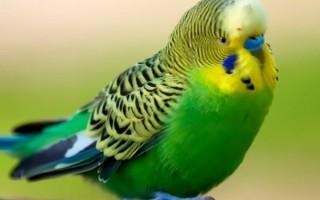 Перечень причин почему может дрожать волнистый попугай