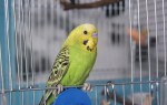 Сколько лет живут волнистые попугаи в неволе и на свободе