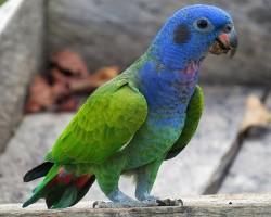 Пионус (синеголовый красногузый попугай)