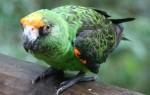 Как приручить конголезских попугаев