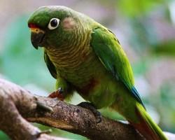 Содержания попугаев пиррура в клетке