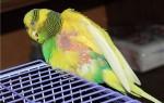 Что делать, если выпадают перья у волнистого попугая