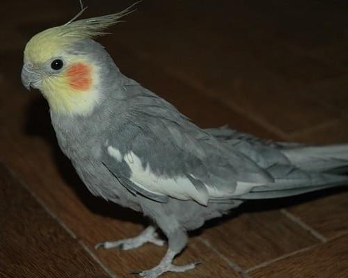 Попугай корелла – как научить его говорить