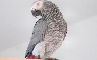 Сколько обычно стоит попугай жако