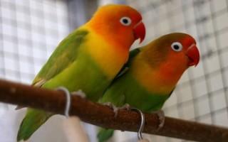 Озорные попугаи неразлучники или как отличить мальчика от девочки после приобретения
