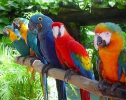 Самые распространенные попугаи Австралии