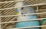 Выбор клетки для волнистых попугаев