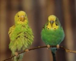 Линька у волнистых попугаев и все что с ней связано