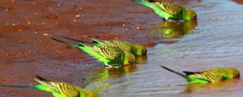 Что делать если попугай не хочет пить воду