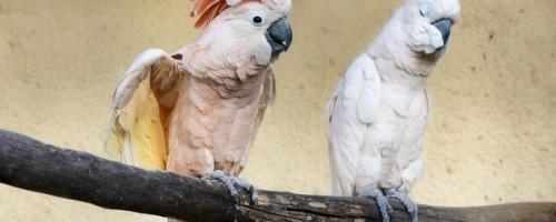 Сколько может стоить попугай какаду в питомниках и на рынках