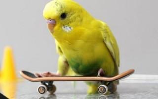 Кто лучше: кореллы или волнистые попугаи