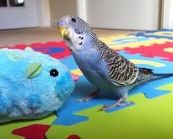 Что любят волнистые попугаи кушать и во что играться