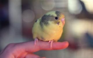 Как правильно определить возраст волнистого попугая