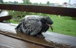 Орнитоз у попугаев: симптомы, признаки заболевания